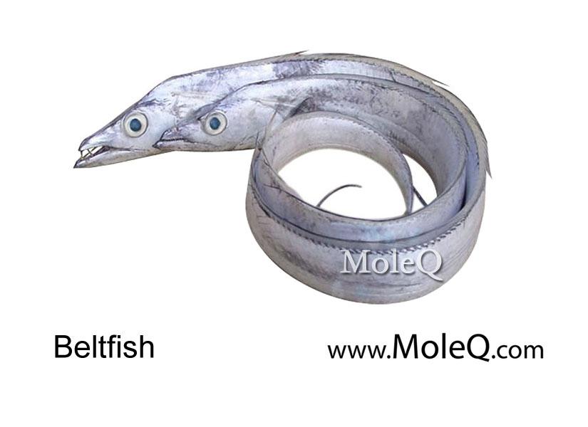 Blet Fish | Beltfish Moleq Inc Food Information