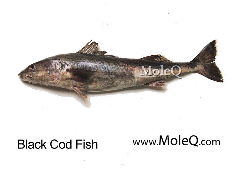 black cod fish moleq inc food information
